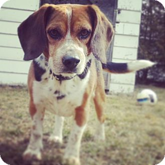 Beagle Dog for adoption in Woodstock, Ontario - Jack