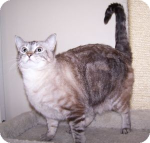 Siamese Cat for adoption in Colorado Springs, Colorado - Apple
