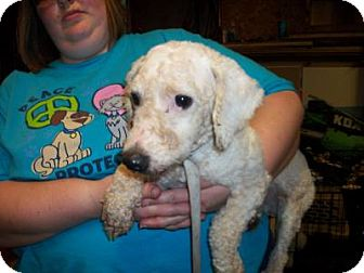 Bichon Frise Dog for adoption in DAYTON, Ohio - Verges