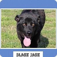 Adopt A Pet :: Black Jack (Pom-dc) - Allentown, PA
