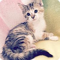Adopt A Pet :: Hollyhock - Addison, IL