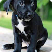 Adopt A Pet :: Gord - Waldorf, MD