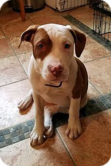 Boxer/Terrier (Unknown Type, Medium) Mix Puppy for adoption in Detroit, Michigan - Foxy Brown
