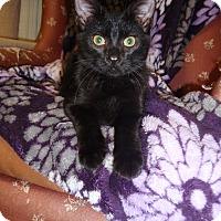American Shorthair Kitten for adoption in Cannon Falls, Minnesota - Jellie Lynx