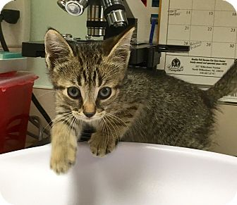 Domestic Shorthair Kitten for adoption in North Wilkesboro, North Carolina - Scoot