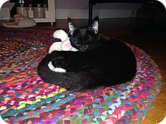 Domestic Shorthair Cat for adoption in Windsor, Connecticut - Rosie