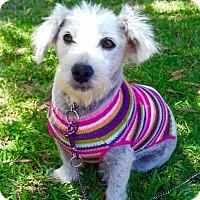 Adopt A Pet :: SOPHIA - Santa Monica, CA