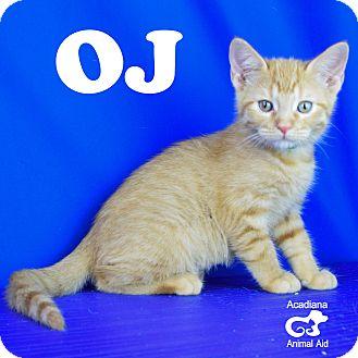 Domestic Shorthair Kitten for adoption in Carencro, Louisiana - OJ