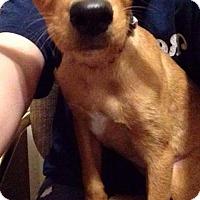 Adopt A Pet :: Lola - Fenton, MO