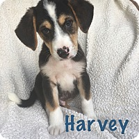 Adopt A Pet :: Harvey - Fort Wayne, IN