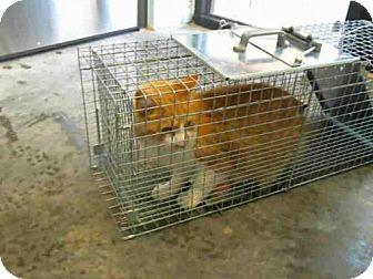 Domestic Mediumhair Cat for adoption in Tulsa, Oklahoma - SCULLY