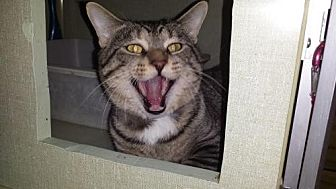 Domestic Shorthair Cat for adoption in Iroquois, Illinois - MC Hammer