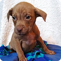 Adopt A Pet :: Pedro - Newark, DE