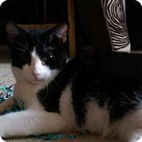 Domestic Shorthair Cat for adoption in St. Louis, Missouri - April