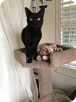 Bombay Cat Rescue California