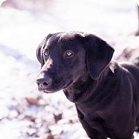 Adopt A Pet :: Holly - Brattleboro, VT