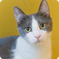 Domestic Shorthair Cat for adoption in Los Angeles, California - Rhino