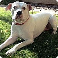 Adopt A Pet :: Ceasar - Gilbert, AZ
