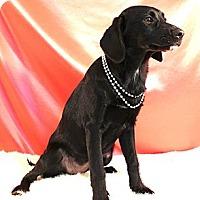 Adopt A Pet :: *Rayna - PENDING - Westport, CT
