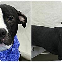 Adopt A Pet :: Finn - Forked River, NJ