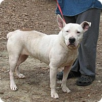 Bull Terrier Dog for adoption in Cochran, Georgia - Bonz