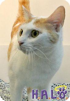 Domestic Shorthair Cat for adoption in Sebastian, Florida - Boomer