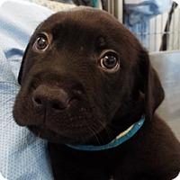 Adopt A Pet :: Amos - Grants Pass, OR