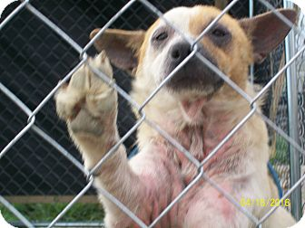 Australian Cattle Dog/Terrier (Unknown Type, Small) Mix Dog for adoption in Mexia, Texas - Lucas