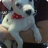 Adopt A Pet :: Iris - san antonio, TX