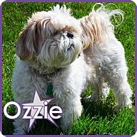 Adopt A Pet :: Ozzie - Excelsior, MN