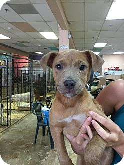 Pit Bull Terrier Mix Puppy for adoption in middle island, New York - DONALD