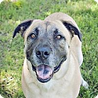 Labrador Retriever/Boxer Mix Dog for adoption in Youngsville, North Carolina - Doe