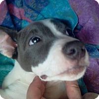 Adopt A Pet :: Sharon - Rockaway, NJ