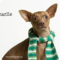 Chihuahua Mix Dog for adoption in Chandler, Arizona - Charlie