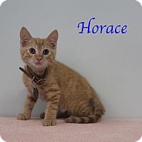 Domestic Shorthair Kitten for adoption in Bradenton, Florida - Horace