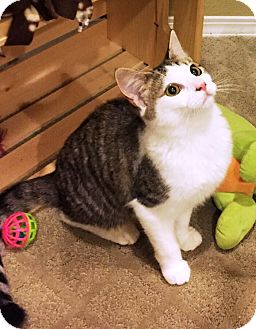 Domestic Shorthair Cat for adoption in Riverside, California - Sweetie