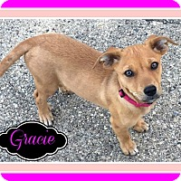 Terrier (Unknown Type, Small)/Feist Mix Puppy for adoption in Elburn, Illinois - Gracie