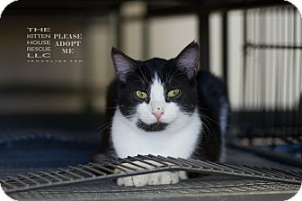 Domestic Shorthair Cat for adoption in Houston, Texas - AVA