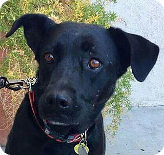 Labrador Retriever/Labrador Retriever Mix Dog for adoption in Tucson, Arizona - Marley