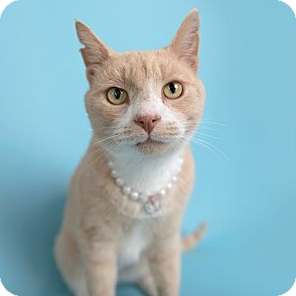 Domestic Shorthair Cat for adoption in Wilmington, Delaware - Wawa