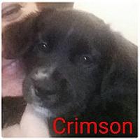 Adopt A Pet :: Crimson - Allen, TX