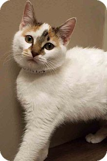 Domestic Shorthair Kitten for adoption in Downers Grove, Illinois - ADOPTED!!!   Mary Jane