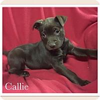 Adopt A Pet :: Callie - Smithfield, NC