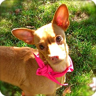 Chihuahua Mix Dog for adoption in El Cajon, California - Pinki