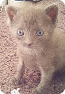 Domestic Shorthair Kitten for adoption in Island Park, New York - Bert & Ernie