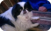 Japanese Chin Dog for adoption in Aurora, Colorado - Sassy