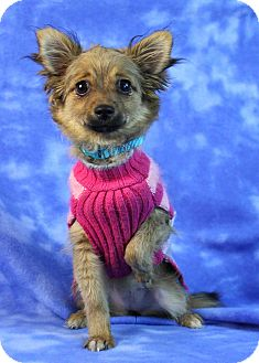 Chihuahua Mix Puppy for adoption in Westminster, Colorado - Vela