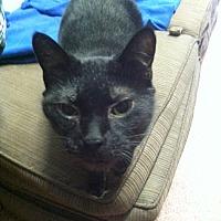 Domestic Shorthair Cat for adoption in Saranac Lake, New York - Monkeyshine