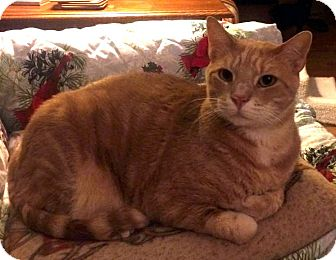 Domestic Shorthair Cat for adoption in Edmond, Oklahoma - Jacob