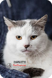 Domestic Mediumhair Cat for adoption in Columbus, Ohio - Charlotte